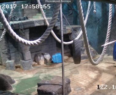 Московский зоопарк. Веб камера онлайн гориллы