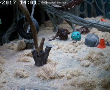 Московский зоопарк. Веб камера онлайн борнейские орангутаны