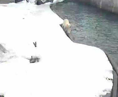 Московский зоопарк. Веб камера белые медведи