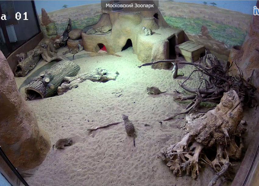 Московский зоопарк. Веб камера онлайн сурикаты