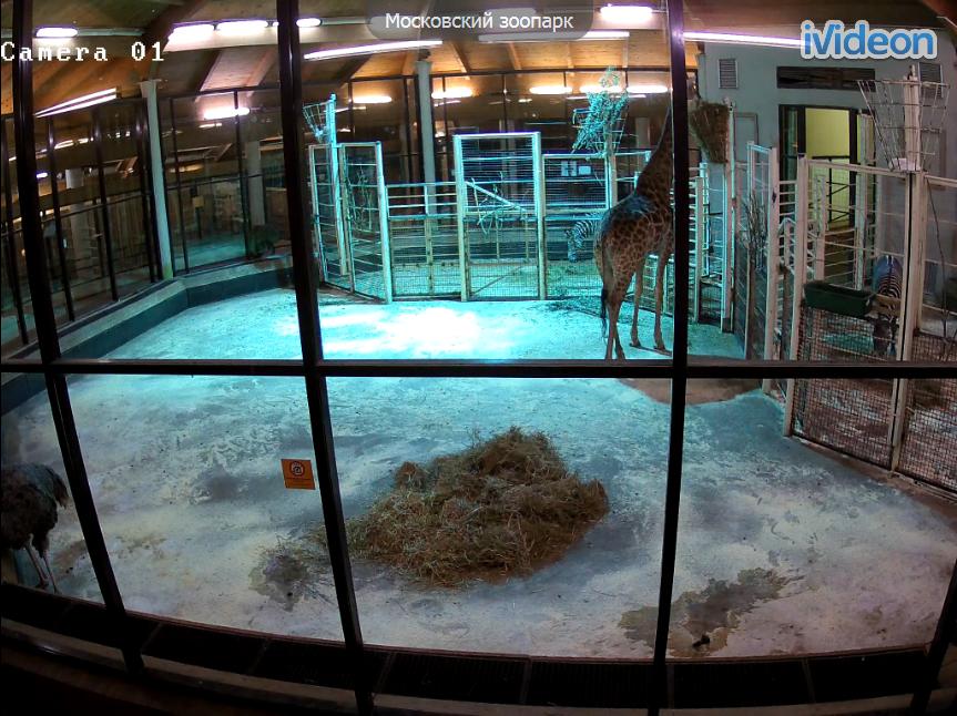 Московский зоопарк. Веб камера онлайн жираф и страус